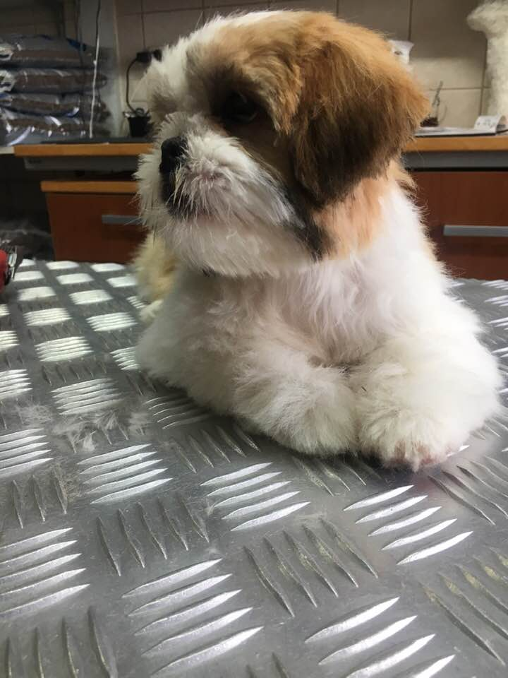 Hondentrimsalontilly Puppy